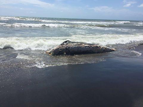 Trovato un delfino senza vita a Santa Marinella mai come questa estate si sono registrati molti decessi