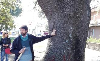 Cerveteri, la Quercia di Largo Almunecar candidata ad Albero Monumentale d'Italia