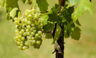 Cerveteri, Sagra dell'Uva tra cantine del vino, archeologia e commercio