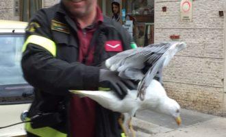 I Vigili del Fuoco di Civitavecchia liberano un gabbiano incastrato nella struttura di piazza Regina Margherita