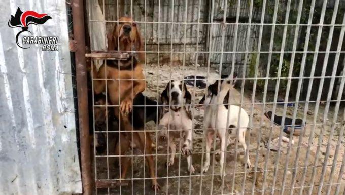 Cerveteri, rubavano cani cambiando il microchip per poi rivenderli un arresto e tre denunce