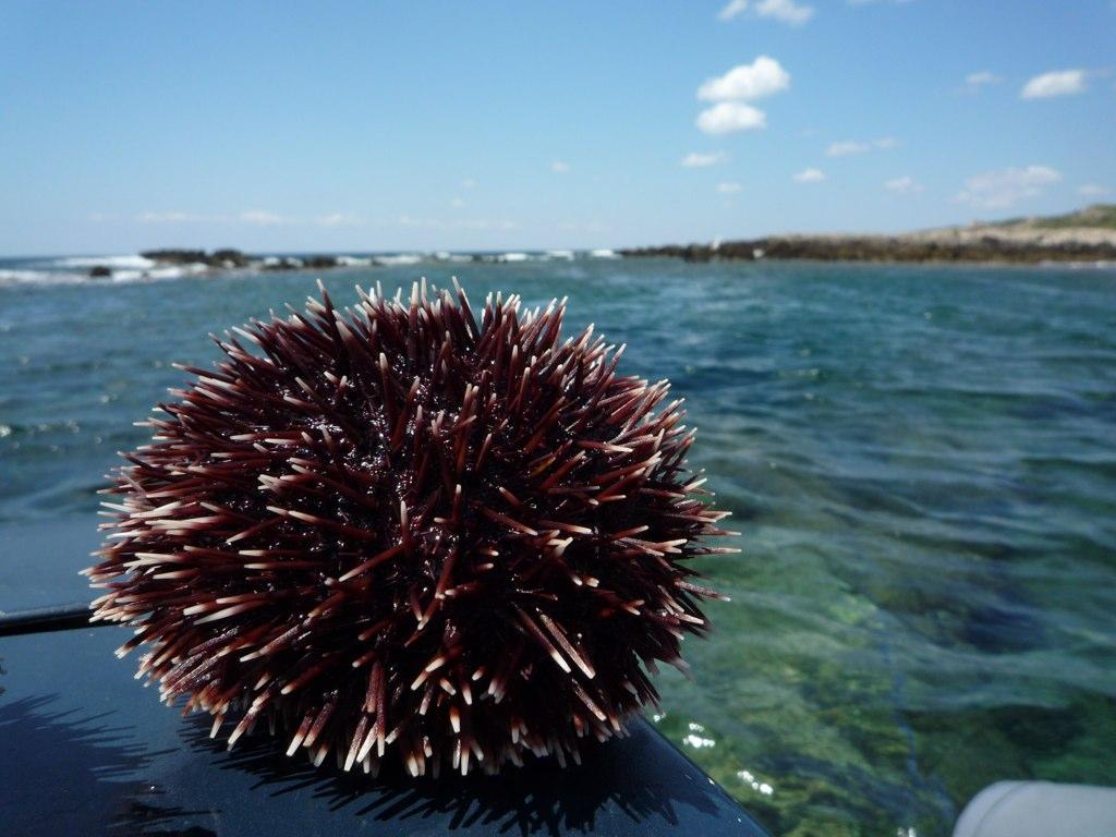 """Civitavecchia, D'Antò: """"Proposto il riccio di mare per le DECO"""""""